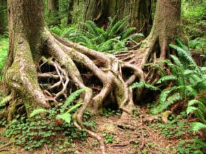 tangled-tree-roots